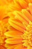 Priorità bassa dei petali della margherita Fotografia Stock Libera da Diritti