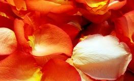 Priorità bassa dei petali di Rosa Immagini Stock Libere da Diritti