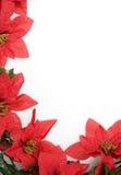 Priorità bassa dei Poinsettias sopra bianco Fotografie Stock