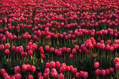 Priorità bassa del campo del tulipano Fotografie Stock