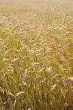 Priorità bassa del campo di cereale Fotografia Stock