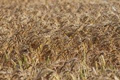 Priorità bassa del campo di cereale maturo Fotografie Stock