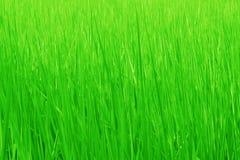 Priorità bassa del campo di erba verde Fotografia Stock
