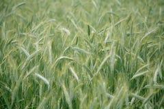 Priorità bassa del campo di frumento Immagine Stock