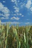 Priorità bassa del campo di frumento Fotografie Stock