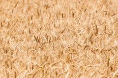 Priorità bassa del campo di frumento del granulo Fotografia Stock Libera da Diritti