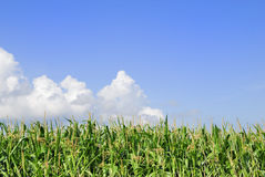 Priorità bassa del cereale fotografie stock