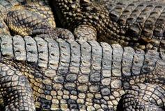 Priorità bassa del coccodrillo Fotografie Stock