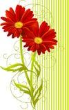 Priorità bassa del fiore dei due gerbera Fotografia Stock