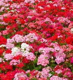 Priorità bassa del fiore dei gerani Fotografia Stock Libera da Diritti