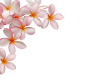 Priorità bassa del fiore del Frangipani Immagine Stock