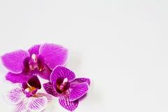 Priorità bassa del fiore dell'orchidea Fotografia Stock Libera da Diritti