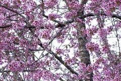 Priorità bassa del fiore di ciliegia Fotografia Stock Libera da Diritti