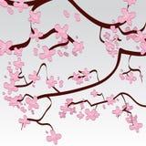 Priorità bassa del fiore di ciliegia Immagine Stock Libera da Diritti