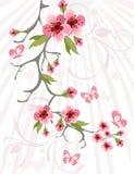 Priorità bassa del fiore di ciliegia Fotografie Stock