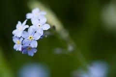 Priorità bassa del fiore di Forgetmenot Fotografie Stock
