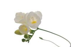 Priorità bassa del fiore di Freesia Fotografie Stock Libere da Diritti