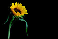 Priorità bassa del fiore di Sun Fotografie Stock