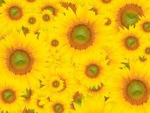 Priorità bassa del fiore, estate o tema gialla della sorgente Fotografia Stock Libera da Diritti