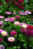 Priorità bassa del flowerbed della margherita Fotografia Stock Libera da Diritti