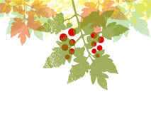 Priorità bassa del foglio del tomatoe della ciliegia Immagini Stock Libere da Diritti