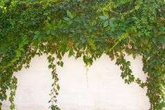 Priorità bassa del foglio dell'edera Fotografia Stock