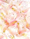 Priorità bassa del petalo del fiore Fotografia Stock