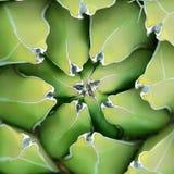 Priorità bassa del primo piano dell'agave Immagini Stock Libere da Diritti