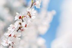 Priorità bassa dell'acquerello L'ape raccoglie il polline dai fiori Rami di albero di fioritura con i fiori bianchi, cielo blu sp Fotografia Stock