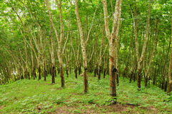 Priorità bassa dell'albero di gomma Immagini Stock Libere da Diritti