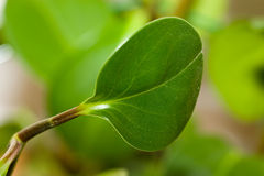 Priorità bassa dell'ambiente organico del foglio della pianta verde Immagini Stock