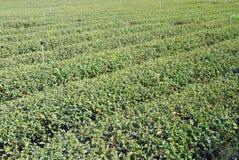 Priorità bassa dell'azienda agricola del tè. Fotografia Stock