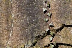 Priorità bassa dell'edera e della roccia Fotografia Stock Libera da Diritti