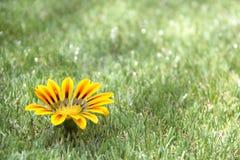 Priorità bassa dell'erba con un fiore Immagine Stock