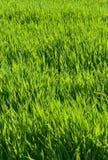 Priorità bassa dell'erba verde Immagini Stock Libere da Diritti