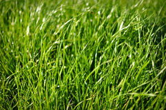Priorità bassa dell'erba verde Fotografie Stock Libere da Diritti