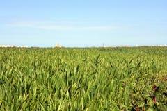 Priorità bassa dell'erba verde di estate Fotografie Stock Libere da Diritti