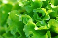 Priorità bassa dell'insalata Fotografie Stock