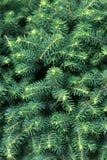 priorità bassa dell'Pelliccia-albero Immagini Stock