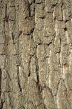 Priorità bassa della corteccia della quercia Immagine Stock