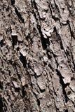 Priorità bassa della corteccia di albero Immagine Stock Libera da Diritti
