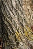 Priorità bassa della corteccia di albero Fotografia Stock