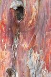 Priorità bassa della corteccia di albero del Yew Immagini Stock