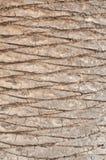 Priorità bassa della corteccia di Palmtree Fotografia Stock