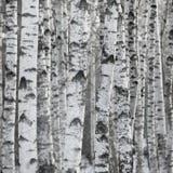Priorità bassa della foresta dell'albero di betulla grande Fotografie Stock