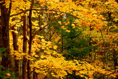 Priorità bassa della foresta di caduta Immagini Stock Libere da Diritti