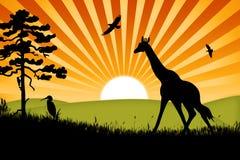 Priorità bassa della giraffa dell'Africa Fotografia Stock Libera da Diritti