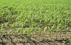 Priorità bassa della natura di paesaggio del campo di cereale. Immagini Stock