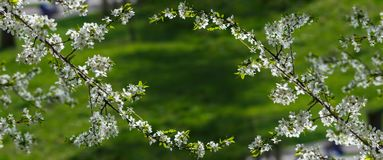 Priorità bassa della natura della sorgente di melo del ramo con i fiori sopra fondo verde Fotografia Stock