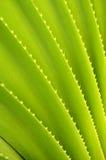Priorità bassa della pianta tropicale Fotografia Stock